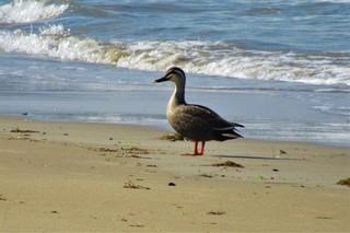 〈おしらせ〉0169:�@2005110823優津屋崎浜の波打ち際に舞い降りたカルガモ5667.JPG