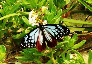 〈事務局日記〉0254:�@1505201140秀羽を広げて吸蜜するアサギマダラ1匹・津屋崎浜で5326.JPG