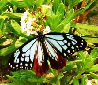 〈事務局日記〉0332:�@1505201140羽を広げて吸蜜するアサギマダラ・津屋崎浜で5326.jpg