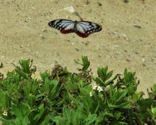 〈活動記録〉0718:�@2105260822羽を広げて飛翔するアサギマダラ7700.JPG