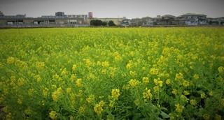 写真2001131555優福津市の菜の花畑4632.JPG